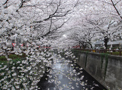 目黒川の桜